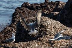 Silbermöwe mit verbreiteten Flügeln lizenzfreies stockfoto