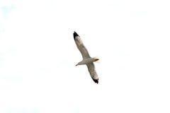 Silbermöwe-oder Seemöwen-Fliegen, lokalisiert Lizenzfreies Stockfoto