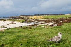 Silbermöwe am Westpunkt der Insel von Mull, Schottland stockfotos