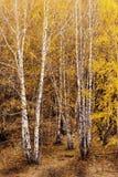 Silberne Birke Stockbilder