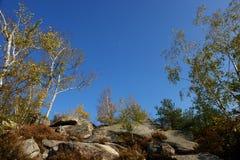 Silberne Birke im Fontainebleau-Wald Stockfotografie
