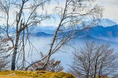 Silberne Birken-Bäume Stockbild