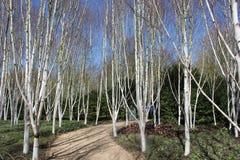 Silberne Birken-Bäume Lizenzfreie Stockfotos