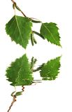 Silberne Birken-Blätter Stockfotos