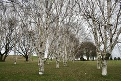 Silberne Birken im Winter, Kopenhagen Lizenzfreie Stockbilder