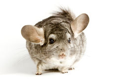 Silberne Chinchilla Stockfoto