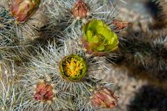 Silberne Cholla-Blüten stockbilder