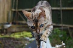 Silberne Eibisch-Bengal-Katze Stockfotos