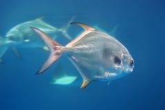 Silberne Fische Stockbild
