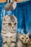 Silberne gestreifte Katze der schönen britischen Falte mit einem Kätzchen Nahaufnahme stockbilder