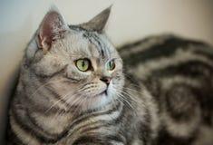 Silberne getigerte Katze des Britisch Kurzhaars Stockfoto