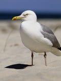 Silberne Möve auf Strand Lizenzfreies Stockfoto