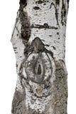 Silberne Pappelstamm-Barkenbeschaffenheit Stockfotografie