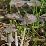 Silberne Pilze. Lizenzfreies Stockbild