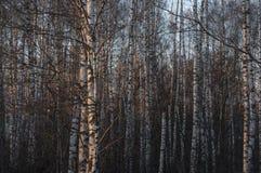 Silberne Suppengr?n im Wald in einem sch?nen warmen Sonnenunterganglicht lizenzfreie stockfotos