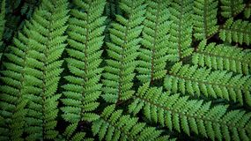 Silberner Baum-Farn Cyathea Dealbata Lizenzfreie Stockbilder