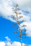 Silberner Dollar-Kaktus lizenzfreie stockbilder