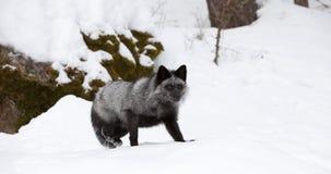 Silberner Fox-Festlegung zum zu laufen Stockfotos