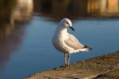 Silberner Mövenvogel am Ufer des Flusses lizenzfreies stockfoto