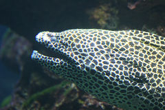 Silberner Moray Stockbilder