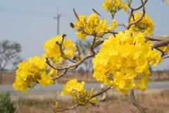 Silberner Trompetenbaum, Baum des Goldes, Lizenzfreies Stockfoto