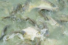 Silberner Widerhaken im Fischteich lizenzfreies stockbild