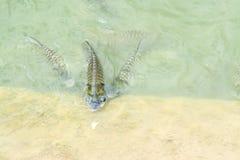 Silberner Widerhaken im Fischteich lizenzfreie stockbilder