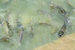 Silberner Widerhaken im Fischteich stockfoto