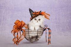 Silbernes Chinchillakätzchen, das den orange Halloween-Hexenhut sitzt innerhalb des Spinnenform-Metallkorbes trägt lizenzfreie stockfotos
