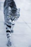 Silbernes gestreiftes Katzennähern Lizenzfreie Stockfotografie