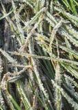 Silbernes Gras Lizenzfreie Stockbilder