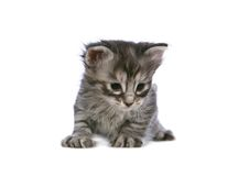 Silbernes Kätzchen Stockfoto