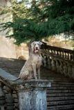 Silbernes Weimaraner im italienischen barocken Park lizenzfreie stockfotografie