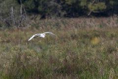 Great egret Casmerodius alba. Silberreiher auf Nahrungssuche im Beeder Bruch Royalty Free Stock Image