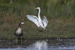 Great egret Casmerodius alba. Silberreiher auf Nahrungssuche im Beeder Bruch Stock Photo
