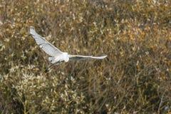 Great egret Casmerodius alba. Silberreiher auf Nahrungssuche im Beeder Bruch Royalty Free Stock Images