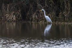Great egret Casmerodius alba. Silberreiher auf Nahrungssuche im Beeder Bruch Stock Photography