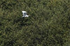Great egret Casmerodius alba. Silberreiher auf Nahrungssuche im Beeder Bruch Royalty Free Stock Photography