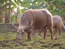 Silbido de bala de dos búfalos Foto de archivo