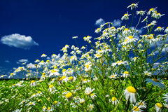 Silence camomiles and blue sky. Royalty Free Stock Photos