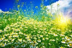 Silence camomiles,sun and blue sky. Stock Photography