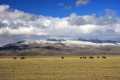 Silence. Horse on pasture. Altai mountain Royalty Free Stock Photos