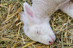 Silence of the lamb. Lamb in the animal exhibition hall Stock Image