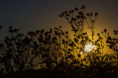 Silence. Plants silhouette against sunset. Village life Royalty Free Stock Image
