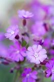 Silene与浅DOF的dioica花 库存照片