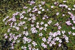 silene开花从桃红色家庭的在冰岛的领域 库存图片