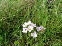 silene开花从桃红色家庭的在冰岛的领域 库存照片