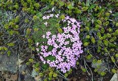 silene开花从桃红色家庭的在冰岛的领域 图库摄影