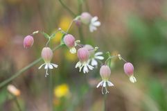 Silene花在草甸 库存照片