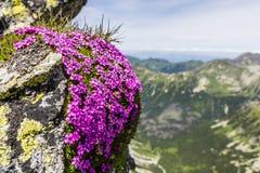 Silene acaulis,青苔剪秋罗,缓冲桃红色,指南针植物 免版税图库摄影